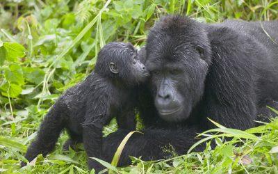 Uganda/DRC and Rwanda: Did you know?